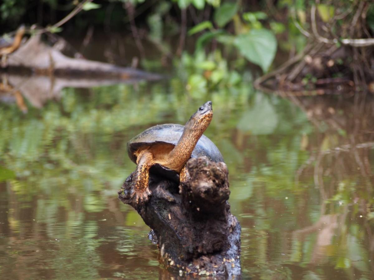 turtles  crocodiles and canoes in tortuguero