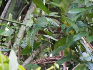 Green Basilisk, Tortuguero National Park