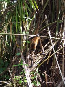White-headed capuchin, Tortuguero National Park