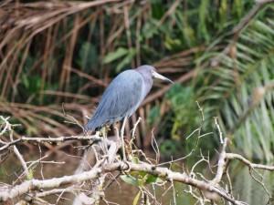 Blue Heron, Tortuguero National Park