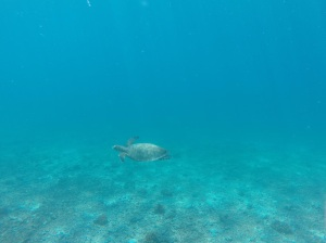 Turtle, Coiba National Park