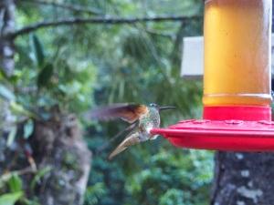 Feeding Hummingbird, Cocora Valley