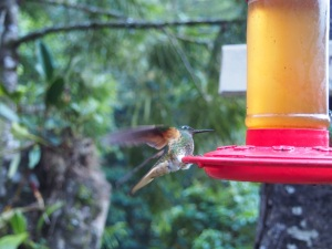 Feeding Hummingbird, Cocora Valley