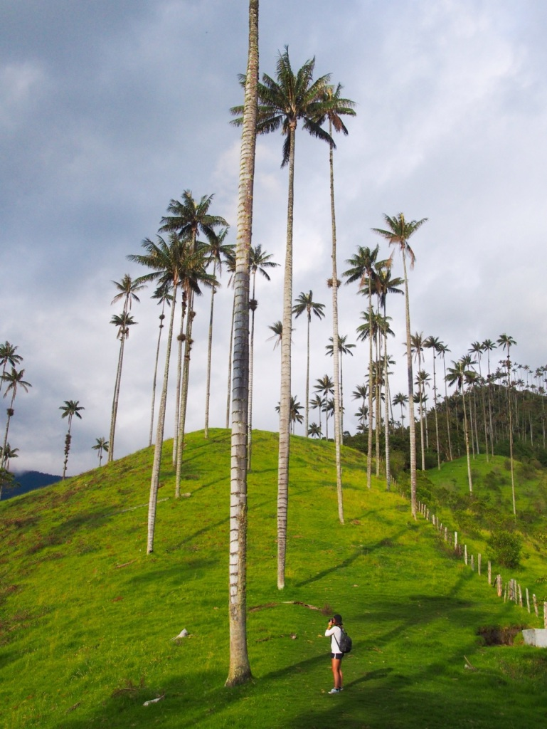 World's tallest palm trees near Salento, Colombia
