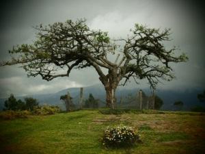 Lechero Tree