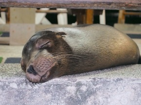 Galàpagos sea lion sleeps