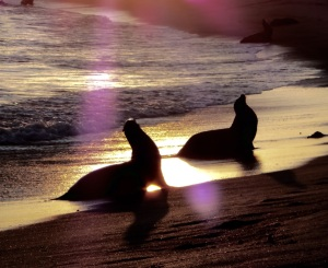 Sunset sea lions