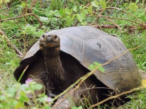 Protected Tortoise on San Cristobal
