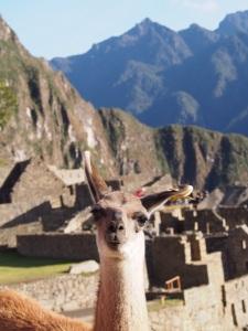 Macho Picchu Alpaca